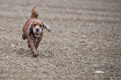 Szczęśliwy Psi Angielski Cocker spaniel podczas gdy biegający ty Obraz Stock