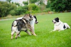 Szczęśliwy psi bawić się na zielonej trawie Obrazy Royalty Free