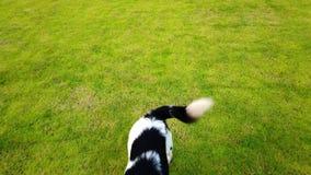 Szczęśliwy psi bieg i bawić się skakać na zielonego szkła łące w lecie, 4K HD ultra zbiory wideo