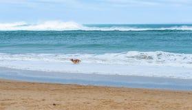 Szczęśliwy psi bieg wzdłuż piaskowatej plaży pięknego turkusowego morza obrazy stock