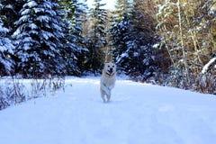 Szczęśliwy psi doskakiwanie w śniegu zdjęcia royalty free