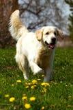 Szczęśliwy psi golden retriever jogger cicho zdjęcia stock