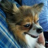 Szczęśliwy psi pomeranian zdjęcie royalty free