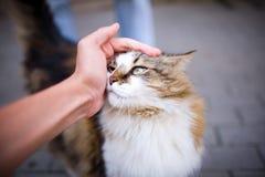 Szczęśliwy puszysty kot zadawalają z ręki uderzaniem Zdjęcie Royalty Free