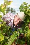 Szczęśliwy rolnik wśród gronowych rzędów Obrazy Royalty Free