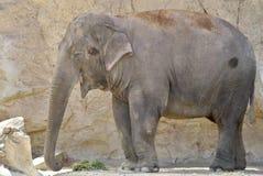 Szczęśliwy słoń Obrazy Royalty Free