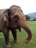 Szczęśliwy smiley słoń Zdjęcia Stock