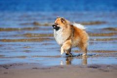 Szczęśliwy spitz psa bieg na plaży Obraz Royalty Free