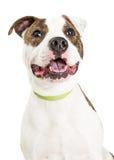 Szczęśliwy Staffordshire Terrier psa portret Zdjęcie Royalty Free