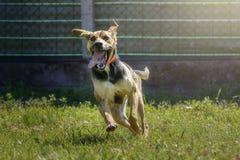 Szczęśliwy szalony kundla psa bieg w łące fotografia royalty free