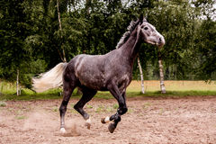 Szczęśliwy szary koński bieg uwalnia w lecie Obraz Royalty Free