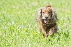 Szczęśliwy szczeniaka pies biega ty Fotografia Royalty Free
