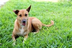 Szczęśliwy Tajlandzki pies na trawie Zdjęcia Royalty Free