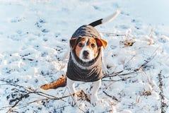 Szczęśliwy uroczy dźwigarki Russell teriera pies z wygodną odzieżą obrazy stock