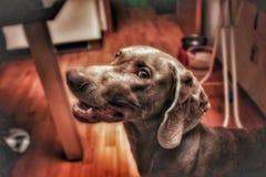 Szczęśliwy weimarener Zdjęcie Royalty Free