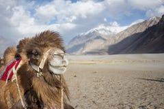 Szczęśliwy wielbłąd jest uśmiechnięty i obszycie kamera Obrazy Stock