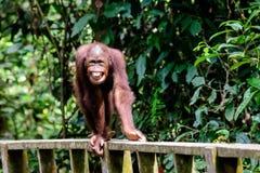 Szczęśliwy zadawalający orangutan z wielkim uśmiechem zdjęcie stock