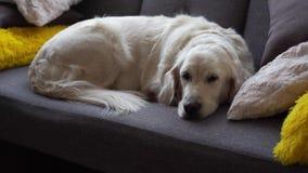 Szczęśliwy zwierzęcia domowego życia piękny psi golden retriever odpoczywa na kanapie w domu w domu - zbiory