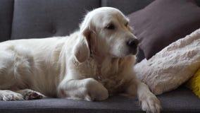 Szczęśliwy zwierzęcia domowego życia piękny psi golden retriever odpoczywa na kanapie w domu w domu - zdjęcie wideo