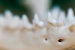 Szczęka czaszka lisa lying on the beach na drewnianym stole, część Barwiona farba plami akrylowego i akwarele, miejsce pracy arty Fotografia Royalty Free