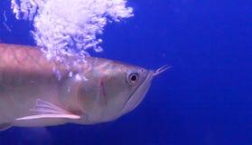 Szczęsliwa ryba w błękitne wody tle Zdjęcia Royalty Free