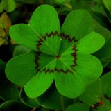 Szczęsliwe koniczyny Cztery liścia Obrazy Royalty Free