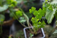 Szczęsliwy koniczynowy flancowanie jak rośliny do domu, zieleń, z cztery liśćmi Obraz Royalty Free