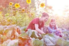 Szcz??liwa matka i c?rka zbiera organicznie kapusty przy gospodarstwem rolnym obrazy royalty free