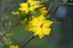 Szczęsliwi kwiaty w Wietnam Obraz Stock