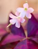 Szczawików kwiaty Obrazy Royalty Free