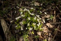 Szczawika acetosella kwiat Zdjęcia Stock