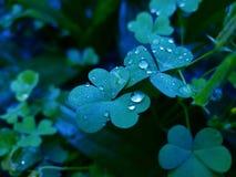 Szczawika corniculata zdjęcie royalty free