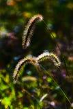 szczecina trawa Obrazy Stock
