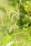 szczecina trawy zieleń Zdjęcia Stock