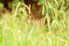 szczecina trawy zieleń Fotografia Stock