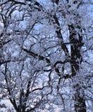 Szczegół mróz zakrywał drzewa przeciw zimy niebu fotografia royalty free