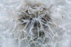 Szczegóły dandelion jako tekstura obrazy stock