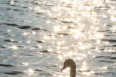 Szczegół łabędź w Dunabe rzece w ranku Obrazy Stock
