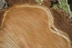 Szczegół świeży drzewa cięcia profil Obraz Royalty Free