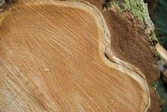 Szczegół świeży drzewa cięcia profil Obrazy Royalty Free