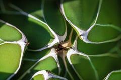 Szczegół agaw victoriae-reginae królowej Wiktoria agawa, królewska agawa, mali gatunki zauważający dla swój smug tłustoszowata ro Zdjęcia Stock