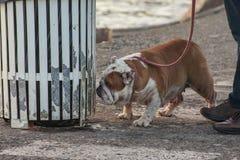 szczegół angielski byka pies ja fotografia royalty free