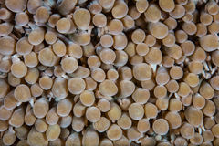 Szczegół bąbla koral w Indonezja Obraz Royalty Free
