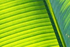 Szczegół Bananowy liść Fotografia Royalty Free