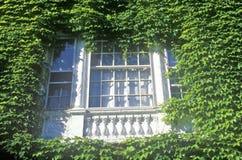 Szczegół bluszcz Zakrywający budynek, uniwersytet harwarda, Cambridge, Massachusetts zdjęcia stock