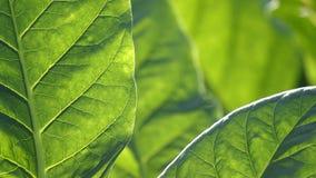 Szczegół brown tabaczny liść fotografia royalty free