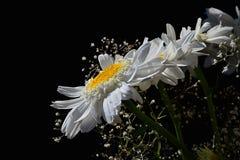 Szczegół bukiet od białych kwiatów oko stokrotek Leucanthemum Vulgare i małych pomocniczych kwiatów na czarnym tle Obraz Stock