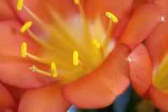 Szczegół Clivia miniata kwiat fotografia stock