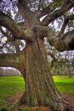Szczegół Dębowy Drzewny bagażnik i kończyny Zdjęcia Stock