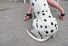 Szczegół Dalmatyński pies z powrotem, nóg dziewczyny i obrazy royalty free